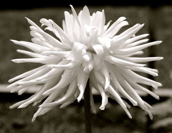 Long Island Dahlia Society Photo Contest